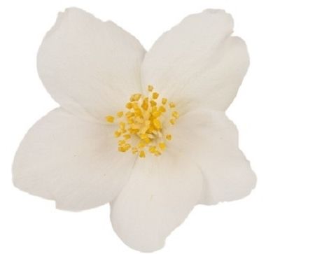 Jasmijn bloem
